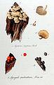 Lycogala epidendrum — Flora Batava — Volume v11.jpg