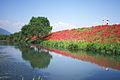 Lycoris radiata@Kaizu-city Gifu-pref. at the Tsuyagawa river..jpg