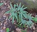 Lygodium japonicum (Thunb.) Sw. (27627864739).jpg