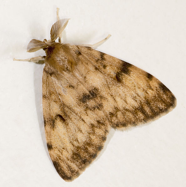 English:  Gypsy Moth. Dorsal side