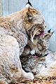 Lynx Mom and Kittens Cleaning (15657614330).jpg