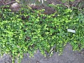 Lysimachia nummularia - Gardenology.org-IMG 0640 bbg09.jpg