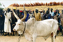Mabior white bull sacrificed at the conclusion of the Wunlit Peace Conference.jpg