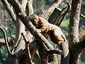 Macaco-prego-galego 2.jpg