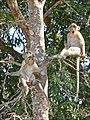 Macaques dans le parc dAngkor Vat (6931598895).jpg