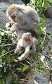 Macaques japonais.JPG