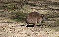 Macropus parma Parc des Oiseaux 21 10 2015 3.jpg