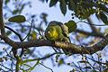 Madagascar Green Pigeon - Ankarafantsika - Madagascar S4E9285 (15110876318).jpg