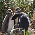 Magellanic Penguin grooming chicks (5541459564).jpg