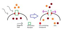 La Magnétogénétique (Traduction de la Fiche Wikipédia en Anglais) dans Dictature Sanitaire 220px-Magnetogenetic_manipulation_of_neuron