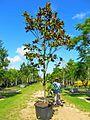 Magnolia Grandiflora (Bull Bay) (28939765442).jpg