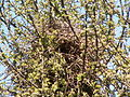 Magpies nest (3492004882).jpg