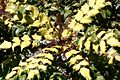 Mahonia Shrub In Garden Hampshire UK.jpg