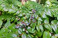 Mahonia sp. - UBC Botanical Garden - Vancouver, Canada - DSC08445.jpg