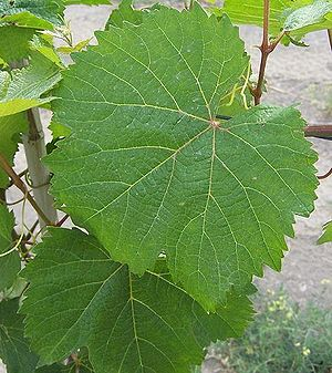 Malbec - Malbec leaves