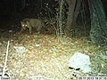 Male Jaguar–Photo Courtesy of UA-USFWS (9318454328).jpg