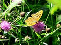 Male Silver-washed Fritillary on knapweed - geograph.org.uk - 922052.jpg