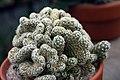 Mammillaria elongata Cristata 1zz.jpg