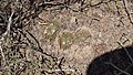 Mammillaria heyderi (25482537933).jpg
