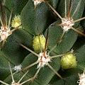 Mammillaria sp buds 0001.jpg