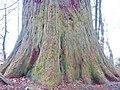 Mammutbaum beim Waldlehrpfad bei Sulz am Neckar, Dieser Mammutbaum wird in Nordamerika bis zu 4000 Jahre alt und 100 m hoch, Riesenmammutbaum Sequoia, Sequoiadendron giganteum, 1865 auf Veranlassung König Wilhelms i - panoramio (4).jpg