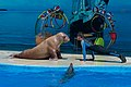 Man and walrus doing press-ups in Anapa dolphinarium.jpg