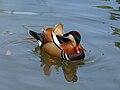 Mandarin Duck (Aix galericulata ) RWD1.jpg