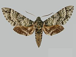 Manduca armatipes BMNHE273710 male up.jpg