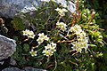 Mangart Saxifraga paniculata.jpg
