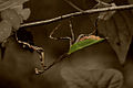 Mantis - Weimar Meneses.jpg