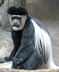 Mantled Guereza.jpg