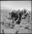 Manzanar Relocation Center, Manzanar, California. Field laborers hoeing corn on the farm project at . . . - NARA - 538058.tif
