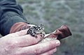 Marbled Toad Neusiedl Austria (26538723799).jpg