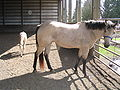 Mare and colt with colt walking away.jpg