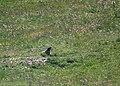 Marmotte Emparis.jpg