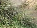 Marram grass in the Crigyll dunes - geograph.org.uk - 1048227.jpg