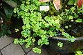 Marsilea quadrifolia - Conservatory of Flowers - San Francisco, CA - DSC03145.JPG