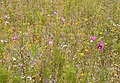 Meadow Flowers (3798373192).jpg