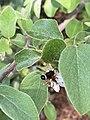 Megachile euzona.jpg