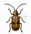 Megalognatha bipunctata.png
