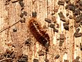 Megatoma undata larva.jpg