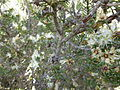 Melaleuca ordinifolia (fruits).JPG