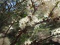 Melaleuca oxyphylla flowers.jpg