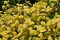 Melissa officinalis All Gold 1zz.jpg