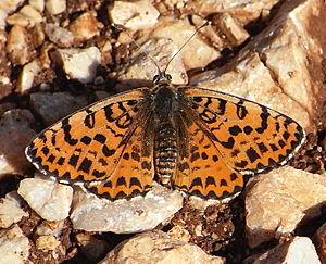 Red moth (Melitaea didyma)
