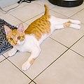 Melon, the orange cat, Taipei; July 2016 (17).jpg