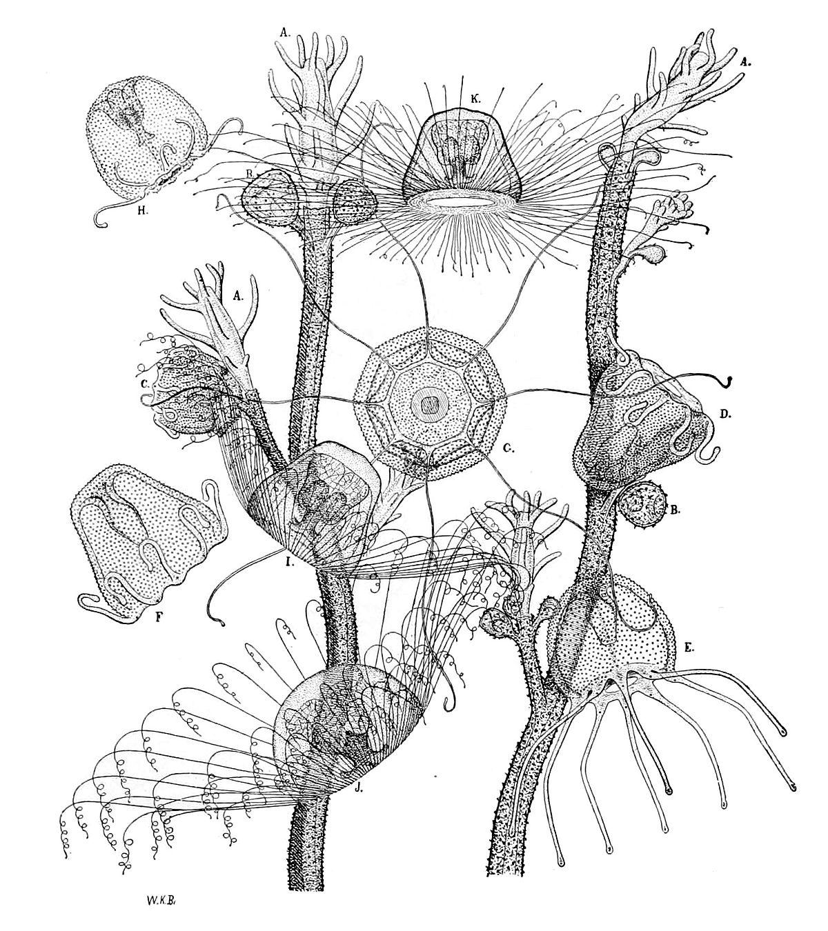 Ölümsüz denizanası Turritopsis nutricula