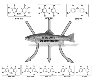 English: Metabolic debromination of PBDEs (pol...