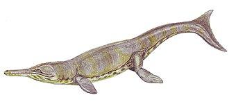 Metriorhynchidae - Metriorhynchus superciliosus