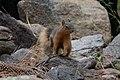 Mexican Fox Squirrel Greenhouse Trail Portal AZ 2018-09-03 11-59-08 (48036383371).jpg